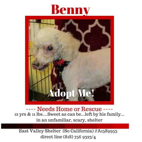 Benny Blind toy poodle needing foster or adoption