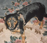 Duchess - dachshund-rat terrier mix